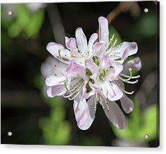 Blushing Azaleas Acrylic Print