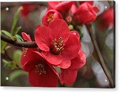 Blushing Blooms Acrylic Print