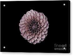 Blushing Dahlia  Acrylic Print