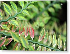 Blushing Leaves Acrylic Print by Jessica Rose