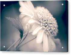 Acrylic Print featuring the photograph Blushing Mum by Julie Palencia