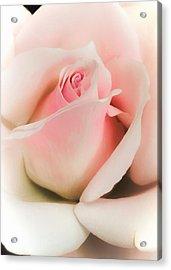 Blushing Petals Acrylic Print