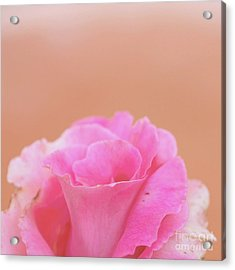 Acrylic Print featuring the photograph Blushing Rose by Cindy Garber Iverson