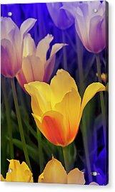 Blushing Tulips Acrylic Print
