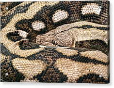 Boa Constrictor Acrylic Print by Tom Mc Nemar
