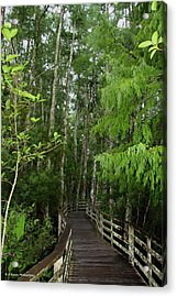 Boardwalk Through The Bald Cypress Strand Acrylic Print by Barbara Bowen