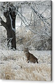 Bobcat And Heavy Frost Acrylic Print by Gary Langley