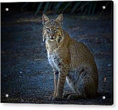 Bobcat At Dusk Acrylic Print by Mark Andrew Thomas