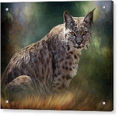 Bobcat Gaze Acrylic Print