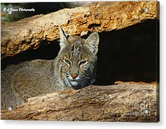 Bobcat Hiding In A Log Acrylic Print