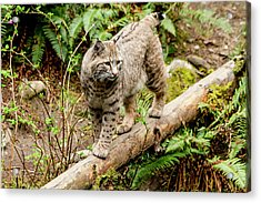 Bobcat In Forest Acrylic Print by Teri Virbickis