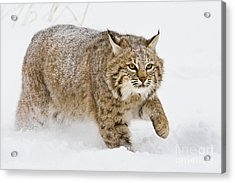 Bobcat In Snow Acrylic Print by Jerry Fornarotto