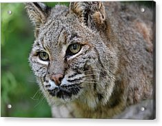 Bobcat In The Trees Acrylic Print