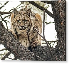 Bobcat In Winter Acrylic Print