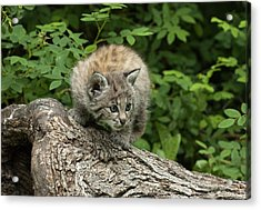 Bobcat Kitten Exploration Acrylic Print by Sandra Bronstein
