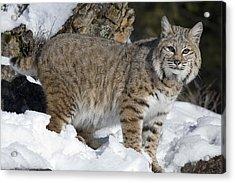 Bobcat Lynx Rufus In The Snow Acrylic Print by Matthias Breiter