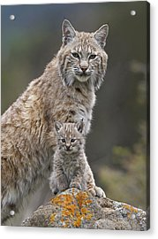 Bobcat Mother And Kitten North America Acrylic Print by Tim Fitzharris