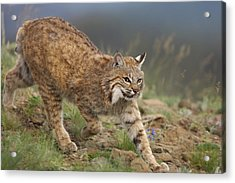 Bobcat Stalking North America Acrylic Print by Tim Fitzharris