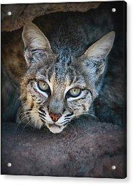Bobcat Stare Acrylic Print by Elaine Malott