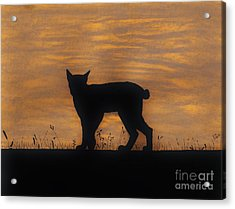 Bobcat - Sunset Acrylic Print by D Hackett