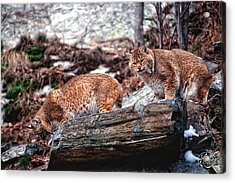 Bobcats On The Loose Acrylic Print by Brad Hoyt