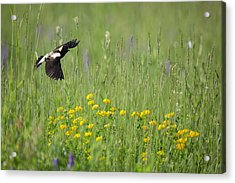 Acrylic Print featuring the photograph Bobolink In Paradise by Bill Wakeley
