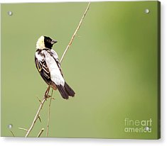 Acrylic Print featuring the photograph Bobolink Looking At You by Ricky L Jones