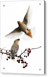 Acrylic Print featuring the photograph Bohemian Waxwings by Mircea Costina Photography