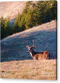 Bold Buck Acrylic Print