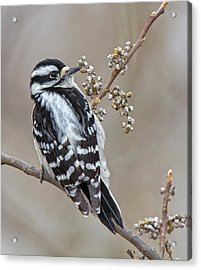 Acrylic Print featuring the photograph Bombay Hook Woodpecker by Robert Pilkington