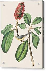Bonaparte's Flycatcher Acrylic Print