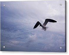Acrylic Print featuring the photograph Bonaparte's Gull In Flight by Kathleen Stephens