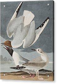 Bonapartian Gull Acrylic Print