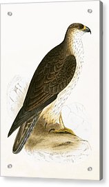 Bonelli's Eagle Acrylic Print by English School