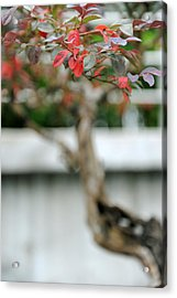 Bonsai Acrylic Print by Jessica Rose