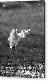 Book_cover_snowy Egret Acrylic Print by Ramabhadran Thirupattur