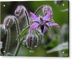 Borage Umbrella Acrylic Print