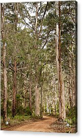 Acrylic Print featuring the photograph Boranup Drive Karri Trees by Ivy Ho