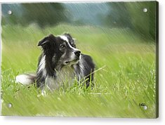 Border Collie - Dwp2189332 Acrylic Print