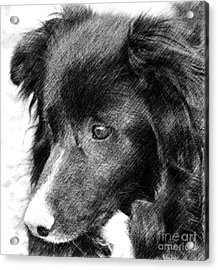 Border Collie In Pencil Acrylic Print