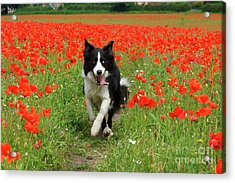 Border Collie In Poppy Field Acrylic Print