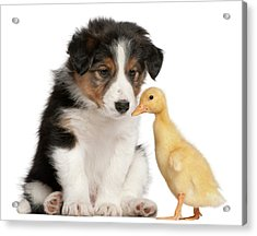 Border Collie Puppy And Domestic Duckling Acrylic Print by Life On White