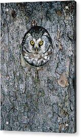 Boreal Owl Aegolius Funereus Peaking Acrylic Print by Konrad Wothe