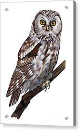 Boreal Owl Tengmalm's Owl Aegolius Funereus - Nyctale De Tengmalm - Paerluggla - Nationalpark Eifel Acrylic Print