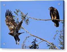Bossy Eagle Acrylic Print
