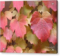 Boston Ivy Turning Acrylic Print