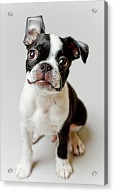 Boston Terrier Dog Puppy Acrylic Print