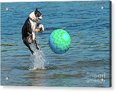 Boston Terrier High Jump Acrylic Print