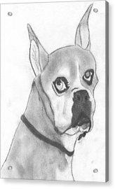 Boston Terrier Acrylic Print by Josh Bennett