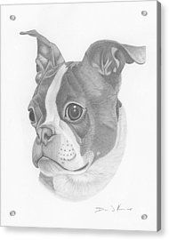 Boston Terrier Juno Acrylic Print